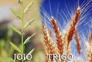 Resultado de imagem para imagem do joio e do trigo - em site católico